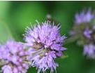 Pennyroyal flowers
