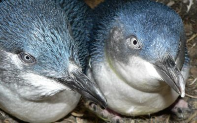 Please help save Waiheke Island's little blue penguins